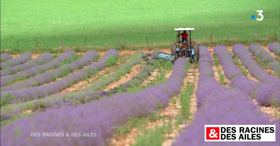 Des Racines et des ailes - récolte de lavande bio à Rocamadour