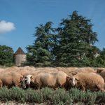 Moutons dans la lavande