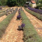 Récolte de la lavande à Rocamadour